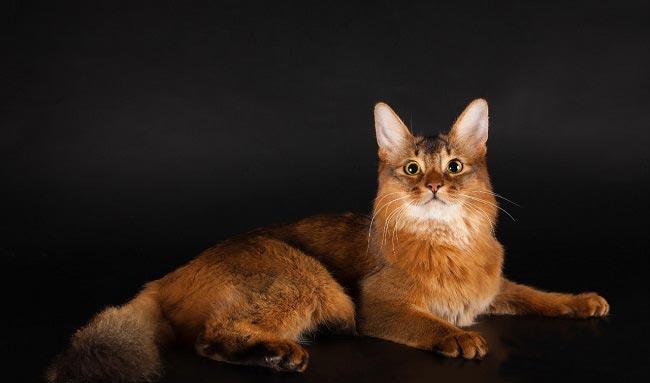 Сомалийская кошка (Somali cat) 5