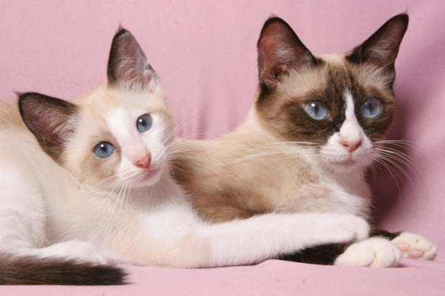two-snowshoe-cats