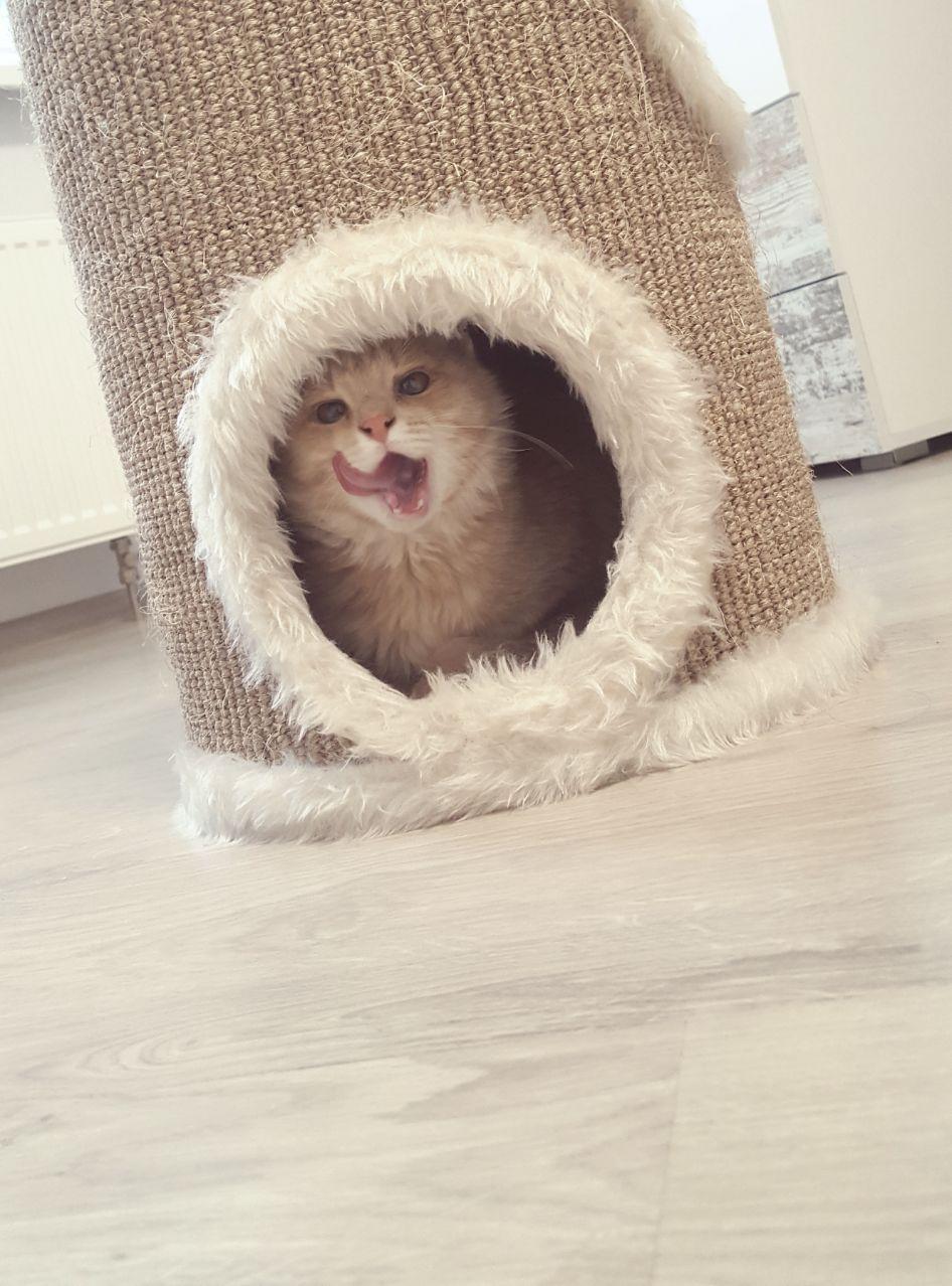 """""""Благородно-розового котёнка мне предложила красивая незнакомка..."""" Так появился Хопа - кот, у которого не было... прорези глаз! рис 2"""
