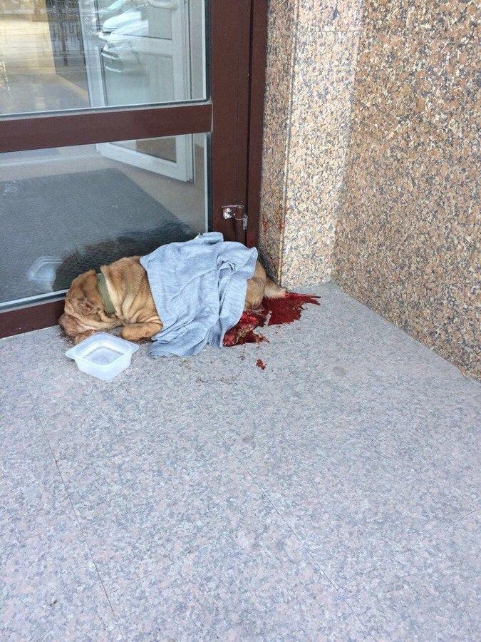По улицам Тюмени бродил окровавленный шарпей… Зоозащитники спасли беднягу и были очень удивлены, узнав, что с ним произошло!