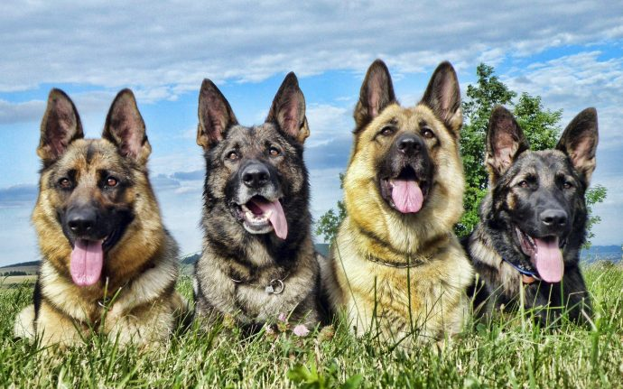 Немецкая овчарка (German Shepherd) 4