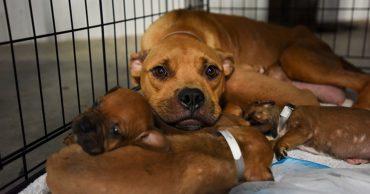 Dog-puppies-Momma-3311MW