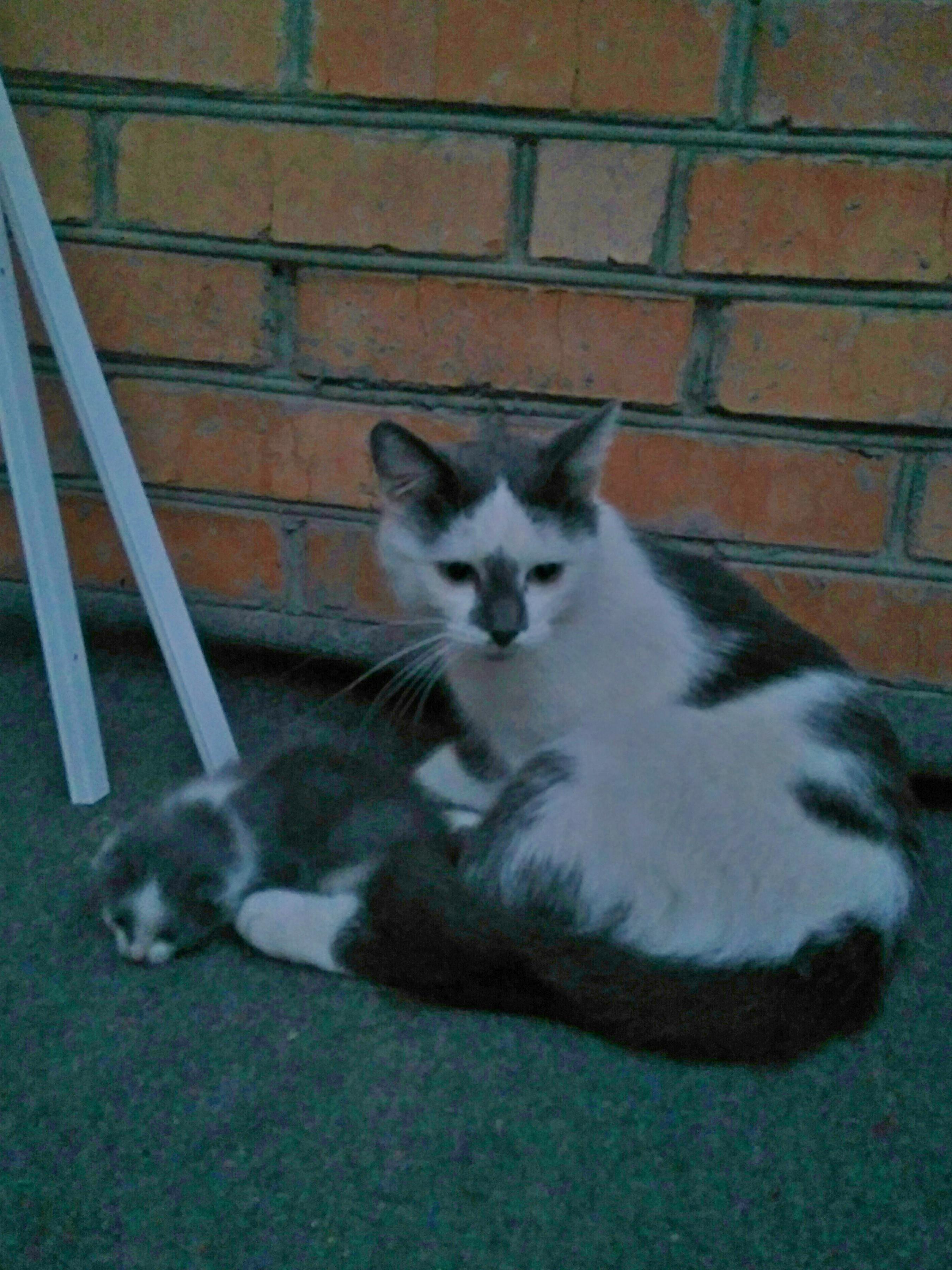 """""""Спасу хотя бы последнего!"""" Хозяева не захотели сохранить её детей, и кошка сбежала от них с малышом в зубах..."""