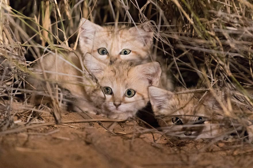 first-wild-sand-cat-kitten-footage-gregory-breton-africa-3-59dc6c83f3382__880