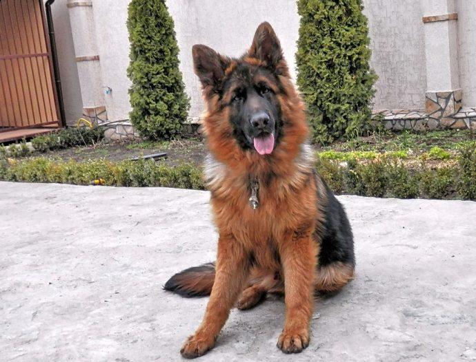 Немецкая овчарка (German Shepherd) 2