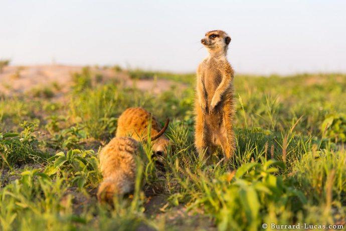 meerkats02