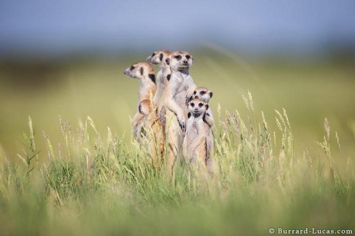 meerkats03