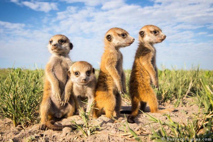 meerkats08