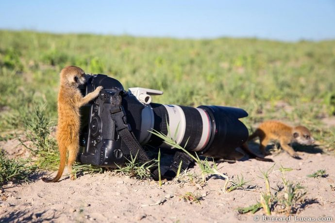 meerkats10