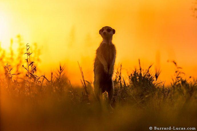 meerkats11
