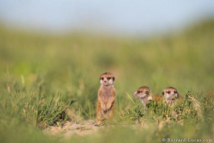 meerkats17