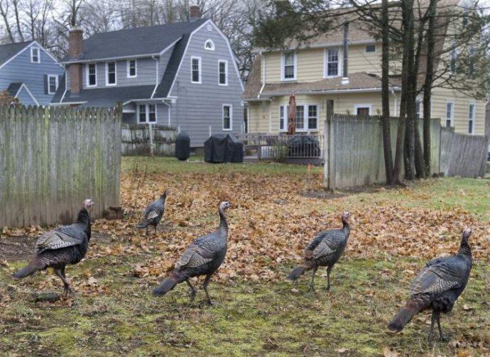 wild-turkeys-boston3-750x547