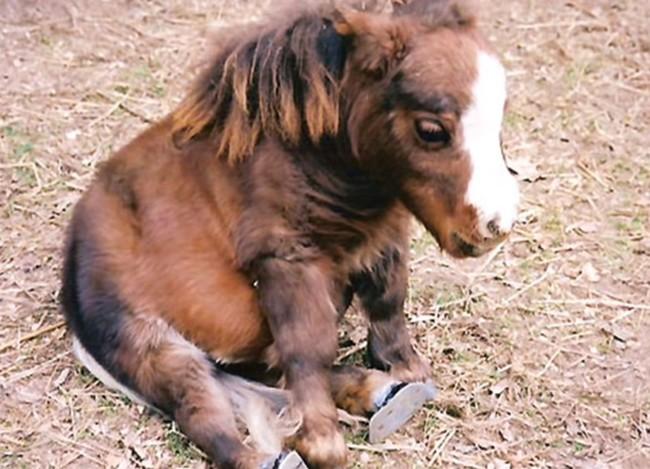 01-mini-horse