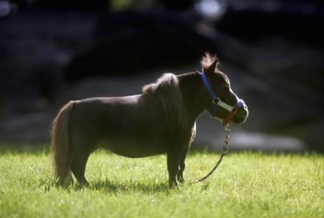 03-mini-horse