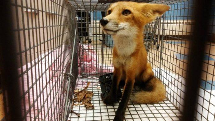 06-fox-trap-paw-wisconsin-768x432