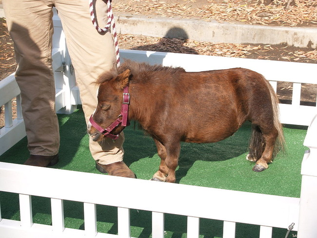 07-mini-horse