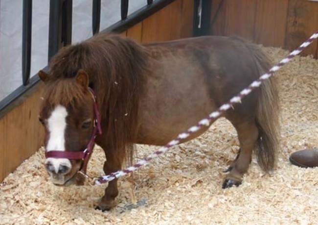 08-mini-horse