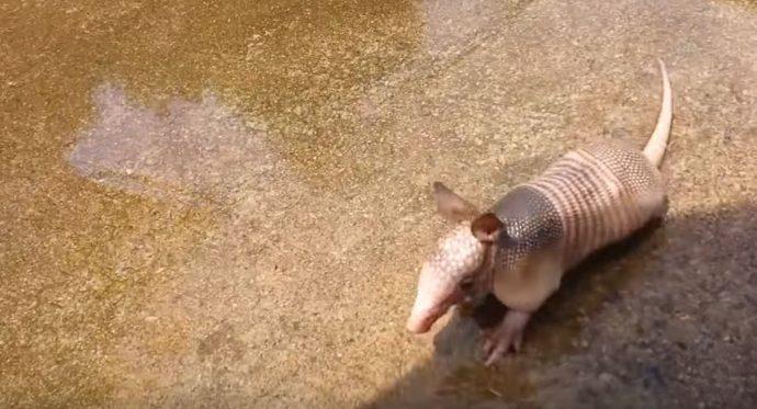 1-baby-armadillo