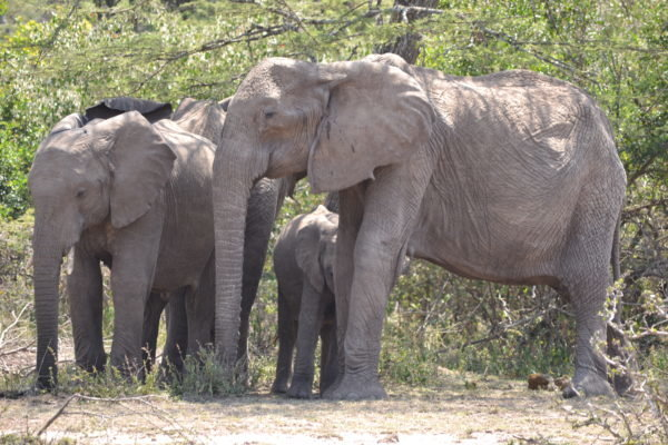 1-elephant-mother-and-her-grieving-children