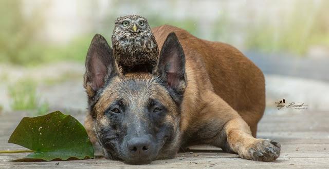 1-gentle-giants-owl-dog