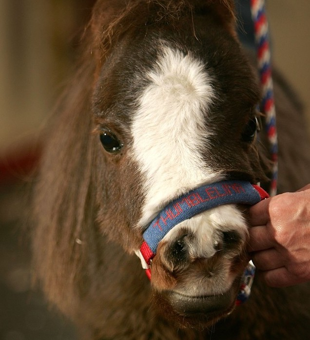 10-mini-horse
