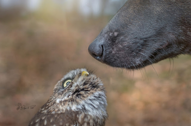 11-gentle-giant-owl-dog-nose