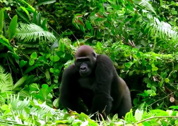 13-gorilla-approach