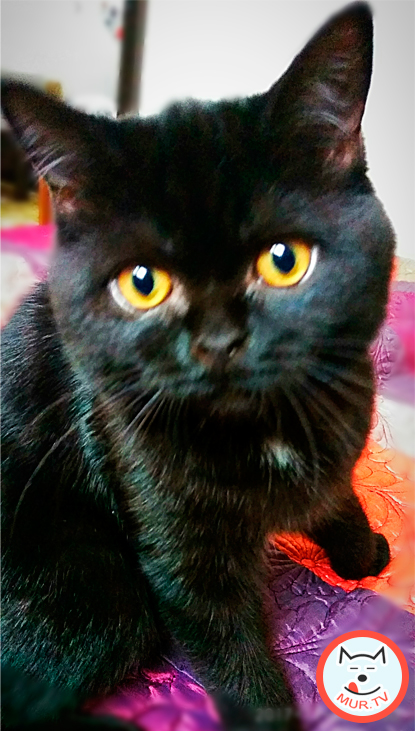 Черная британская кошка по имени Фурия