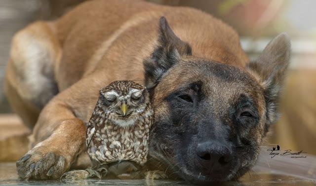 3-gentle-giant-owl-dog-nap