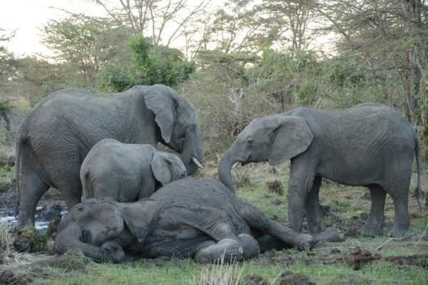 5-elephant-mother-and-her-grieving-children