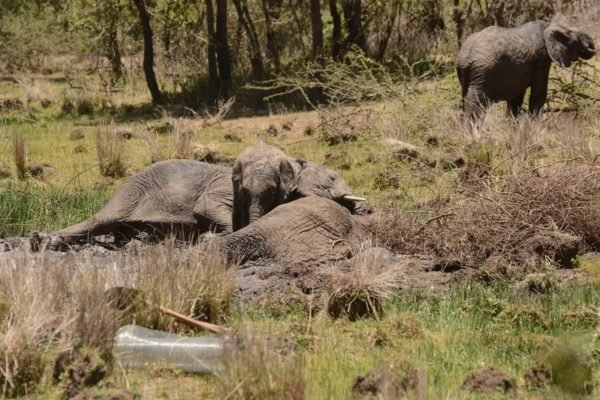 6-elephant-mother-and-her-grieving-children