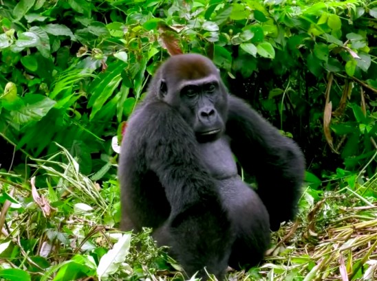 7-gorilla-chilling