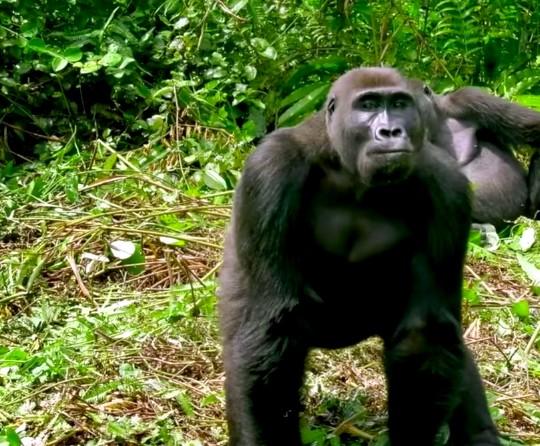8-gorillas-two