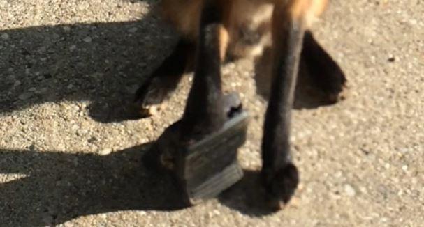 fox-caught-in-bear-trap-2