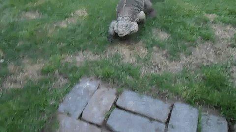 iguana-greeting-8-0