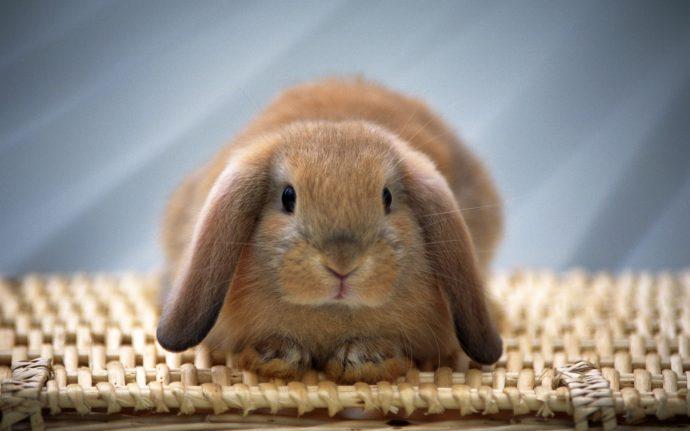 rabstol_net_rabbits_28