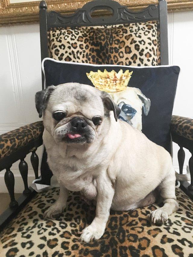 """""""Удочерите уродливую мопсиху!"""" Брошенная собака, которую все считали некрасивой, наряжается в платья и становится Золушкой! рис 2"""