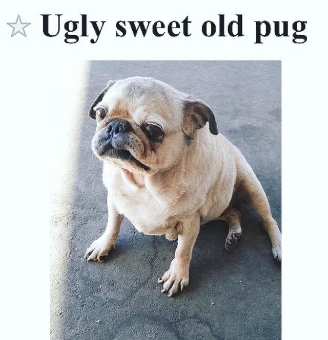 """""""Удочерите уродливую мопсиху!"""" Брошенная собака, которую все считали некрасивой, наряжается в платья и становится Золушкой!"""