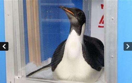 """""""Компас врёт, иду интуитивно!"""" Императорского пингвина из Антарктиды занесло на пляжи Новой Зеландии, где он наелся песка и принялся умирать... рис 6"""