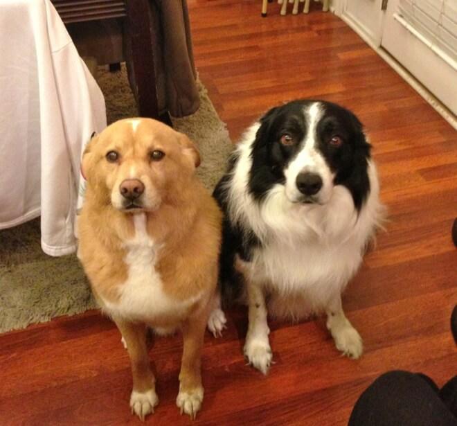 «Хозяин, я больше не буду!» О чём на самом деле говорит виноватый взгляд вашей собаки? Удивляйтесь! :) рис 5