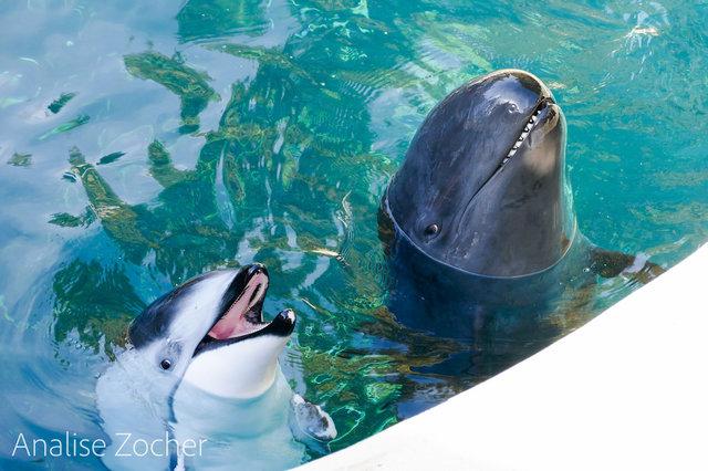 """""""Спасите Хелен!"""" Дельфин, потерявший лучшего друга, умирает от одиночества... Кто придёт к нему на помощь?"""