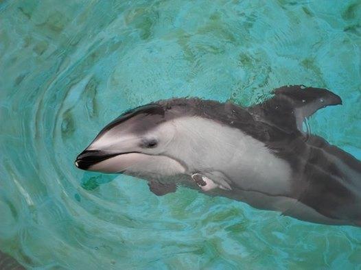 """""""Спасите Хелен!"""" Дельфин, потерявший лучшего друга, умирает от одиночества... Кто придёт к нему на помощь? рис 3"""