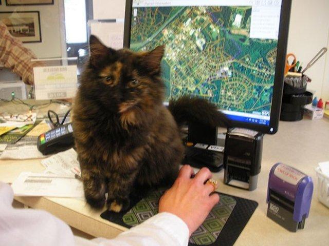 """""""Мурр-мяу, это полиция!"""" Приблудный котёнок по имени Сквизи покорил всех полицейских города! рис 5"""