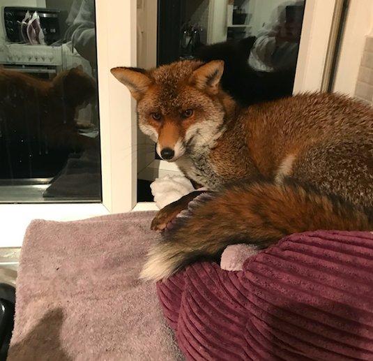 """""""Рыжий узурпатор"""" пробрался в квартиру и занял кошачью кровать... Кот в шоке, ЛИС в шоколаде!!!"""