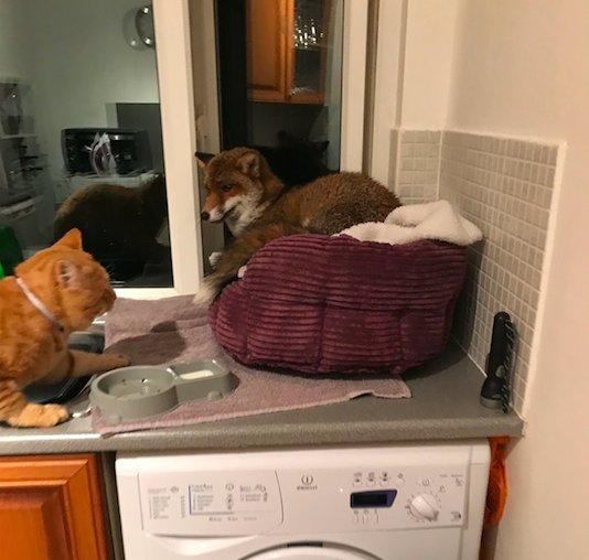 """""""Рыжий узурпатор"""" пробрался в квартиру и занял кошачью кровать... Кот в шоке, ЛИС в шоколаде!!! рис 2"""