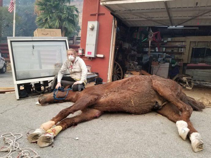 Бедную лошадь, упавшую в горящее стойло вниз головой, спасали в прямом эфире! Теперь малышка чувствует себя намного лучше :) рис 5
