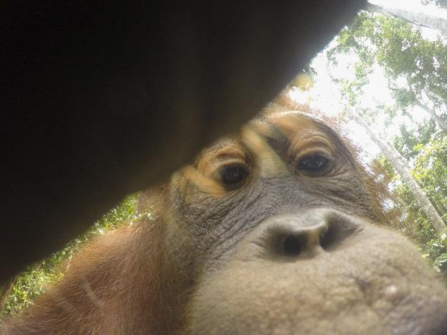 Дикий орангутанг умыкнул камеру у фотографа и сделал суперские селфи! Смотрите сами! :)