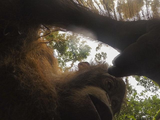 Дикий орангутанг умыкнул камеру у фотографа и сделал суперские селфи! Смотрите сами! :) рис 3