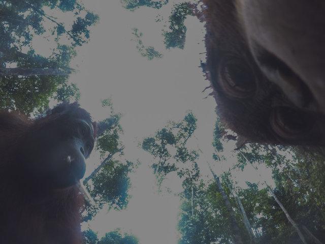 Дикий орангутанг умыкнул камеру у фотографа и сделал суперские селфи! Смотрите сами! :) рис 2
