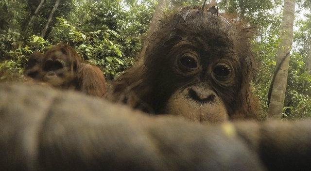 Дикий орангутанг умыкнул камеру у фотографа и сделал суперские селфи! Смотрите сами! :) рис 5
